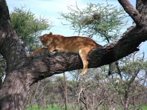 speča levinja